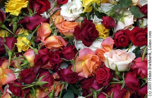 mauritius_flowers__200510dsc6642
